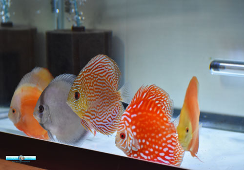 Name:  Assorted-Discus_2755.jpg Views: 391 Size:  35.8 KB